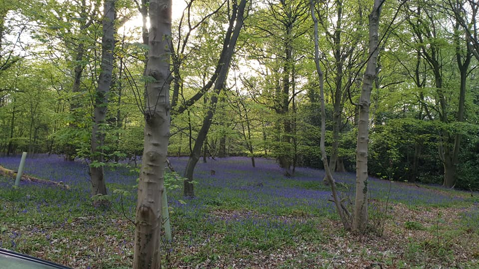 Camp House bluebells in the woods